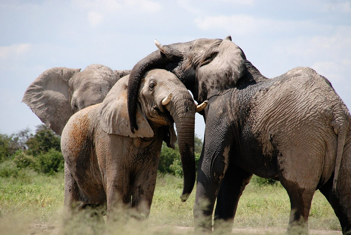 Vacancy: some more elephants needed in the bush